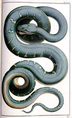 Snake illustration from the 1735 Thesaurus, Vol.2, Tab 81 of Albertus Seba (Dutch, 1665–1736). Coloured engraving