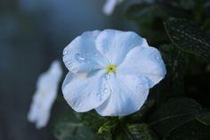 White Catharanthus Roseus Flower