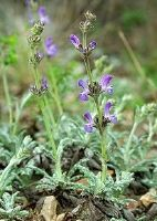 Caucasus Sage. Very dainty plant, but did not survived the winter...