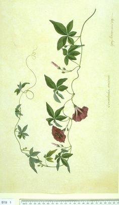 Ipomoea cairica (L.) Sweet Natural History Museum, London, The Endeavour Botanical Illustrations, The Endeavour Botanical Illustrations, () drawing: family: Convolvulaceae