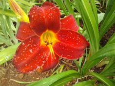 Rain Drops on a Red Lily