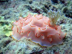 Halgerda Bacalusia - Andaman & Nicobar Islands, India