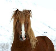 Icelandic horse , Iceland