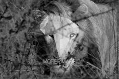 Leão/Lion by Andre Botha – Moderimage