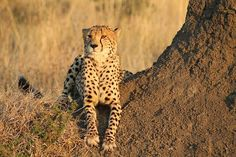 A cheetahs in the Madikwe Game Reserve, South Africa.