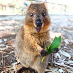 Quokkas, the happiest animal in the world.