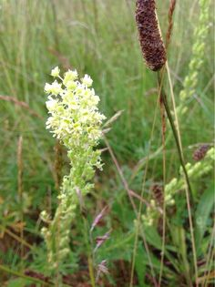 Wild Mignonette (reseda lutea): A biennial or short-lived perennial native to Europe; flowers are palest yellow or almost white. Prized for its fragrance. Seldom cultivated, but easy to grow.