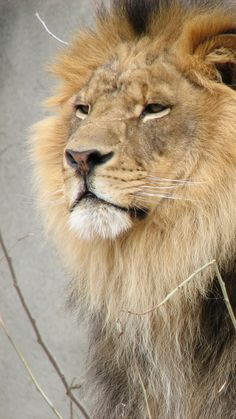 A Proud Looking African Male Lion.