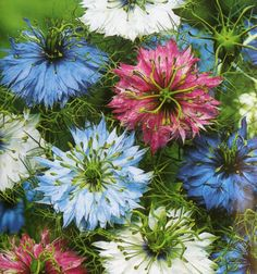 Nigella Love In A Mist - Persian Jewels Flower Seeds - Kelways