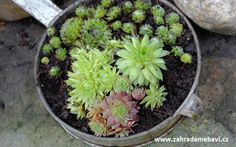 Sempervivum on a windowsill Window Sill, Garden Pots, Succulents, Plants, Garden Planters, Window Frames, Succulent Plants, Plant, Window Ledge