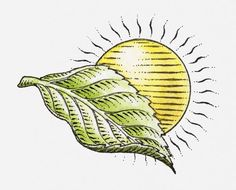 Print of Illustration of sun and green leaf