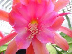 2-Epiphyllum-Mombasa-Orchid-Cactus-Cuttings-Large-Rose-Purple-Flowers