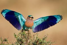 """The Indian Roller (Coracias benghalensis), in Telugu it is called """"paala pitta"""" is a member of the roller family of birds. Beautiful Creatures, Animals Beautiful, Rock And Roll, Indian Roller, Lilac Breasted Roller, Aerial Acrobatics, Most Beautiful Birds, State Birds, Exotic Birds"""
