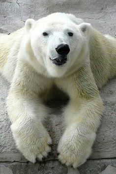 Smirking Polar Bear!