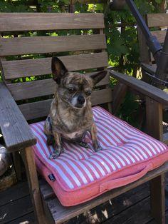 Chiwawa, Chihuahua Dogs, Shelter Dogs, Adoption, Foster Care Adoption, Chihuahua, Chihuahuas, Rescue Dogs, Dog Houses