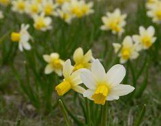 Sense and Simplicity: Daffodils at the Royal Botanical Gardens