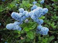 Ceanothus griseus horizontalis 'Yankee Point'             (Yankee Point California Lilac)   Water Use:  Very Low to Low   Size:  3' -  5' x 8' – 10'   Sun:  Full Sun to Part Shade   CA Native:  Yes        Deer Resistant:  Deer candy   Wildlife Value:  Bees, hummingbirds, butterflies,           & beneficial insects