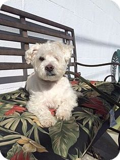ADOPTED - Long Beach, NY - Posh Pets, Schnauzer (Miniature)/Westie, West Highland White Terrier Mix. Meet Stevie, a dog for adoption. http://www.adoptapet.com/pet/12473721-long-beach-new-york-schnauzer-miniature-mix