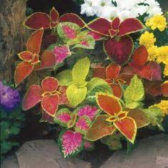 Resultado de imagen de coleus planter Geranium