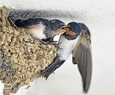 Hirondelle rustique - Barn Swallow - Golondrina Común - Rondine comune - Rauchschwalbe ( Hirundo rustica ) by Young Sung Bae on Horse Drawings, Bird Drawings, Beautiful Birds, Animals Beautiful, Beautiful Landscape Wallpaper, Barn Swallow, Kinds Of Birds, Wild Creatures, Wildlife Nature