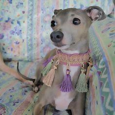 Tina.  Italian Greyhound