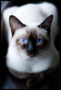 Love Siamese. Such a beautiful cat