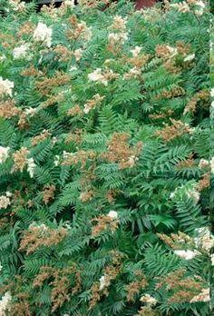 viitapihlaja-angervo - Sorbaria sorbifolia