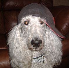 Poodles can be TUFF