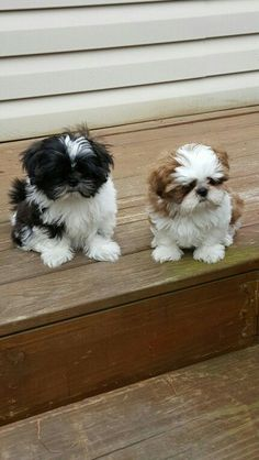"""Obtain terrific recommendations on """"shih tzu puppies"""". They are offered for you on our internet site. Shitzu Puppies, Teacup Puppies, Cute Puppies, Cute Dogs, Dogs And Puppies, Doggies, Teacup Chihuahua, Retriever Puppies, Terrier Puppies"""