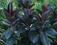 This fig is ideal as an indoor pot plant, its tough and can take a bit of neglect. Its dark glossy leaves make it a very attractive indoor plant Potted Plants, Indoor Plants, Ficus Elastica, Shrubs, Fig, Knight, Burgundy, Garden, Leaves