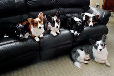 Six Corgis waiting at the Vets....WOW!!!