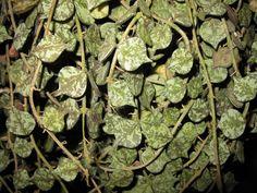 Apocynaceae Hoya curtisii