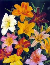 For my garden: assorted Daylilies - multiple season blooms, full to partial sun.