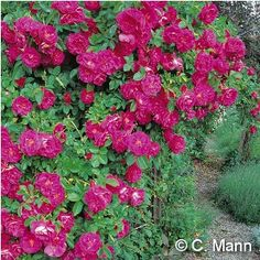 """This rose is perfect for my high altitude garden of 8000 feet. Climbing growth habit. Medium-sized double-deep fuchsia-pink flowers highlight this big climber. Blooming all summer with heaviest blooming in late spring, """"John Cabot"""" should be used where it can grow to its full size. Cover big fences and tall empty walls with this vigorous variety. Super cold-hardy canes. Zones 3-8."""
