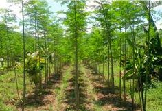 Renew of Moringa cultivation in Egypt