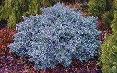Blue Star Juniper- from gardensdirect.com