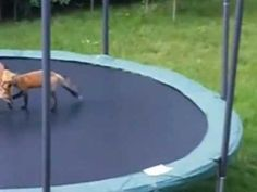 INCREDIBLE - MUST SEE - Two Red Foxes Discover a Trampoline Funny Dog Videos, Funny Dogs, Red Fox, Foxes, Cute Animals, Creatures, Backyard, The Incredibles, Humor