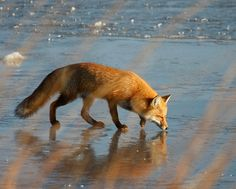 Following a Scent Trail Over  the Ice | Flickr - Photo Sharing!