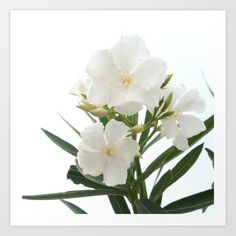 Nerium oleander is an evergreen shrub or small tree in the dogbane family…