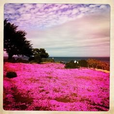 Pacific Grove, Pacific Grove, California - Every spring, pink and...