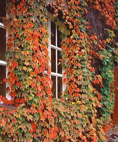 Virginia Creeper - Climbing plants for a wood fence, mine grows on the brick house, green til fall then red