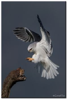 Whitetail Kite - Awesome Shot !