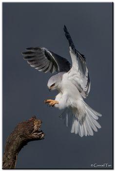 Whitetail Kite by Conrad Tan Pretty Birds, Love Birds, Beautiful Birds, Rapace Diurne, Birds Of Prey, Raptors, Wild Birds, Bird Watching, Bird Art