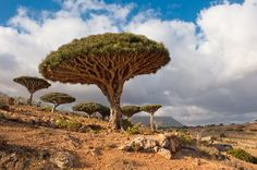 "Are these trees masquerading as mushrooms? Living only on Socotra Island in the Indian Ocean, the ""dragon's blood tree"" gets its name from its red sap. Slow-growing and able to survive in the island's rocky soil, these trees are believed to be hundreds of years old.  KIDS DISCOVER"