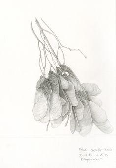 Maple Seeds by Ikumi Kayama Seed Illustration, Ink Illustrations, Botanical Illustration, Graphite Art, Graphite Drawings, Art Drawings, Botanical Drawings, Botanical Art, Maple Seed Tattoo