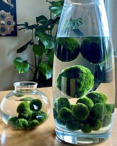 Indoor Garden, Garden Plants, Indoor Plants, Inside Plants, Cool Plants, Terrariums, Marimo Moss Ball Terrarium, Aquatic Plants, Plant Decor