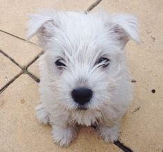 They make the cutest puppies. westie-1
