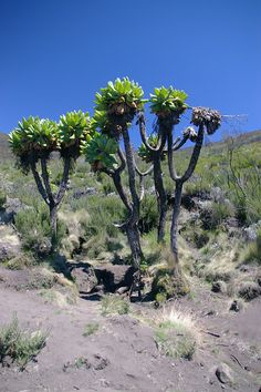 kilimanjaro+moorlands   IMGP5386-Kilimanjaro-Moorlands-Trees.jpg