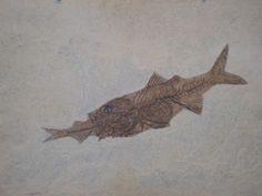 rare fossils - Google Search Ancient Fish, Fish Design, Prehistory, Natural History, Geology, Science Nature, Sea Shells, Moose Art, Creatures
