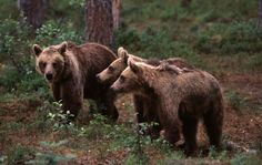 Brown bear family in Kuusamo, Finnish Lapland
